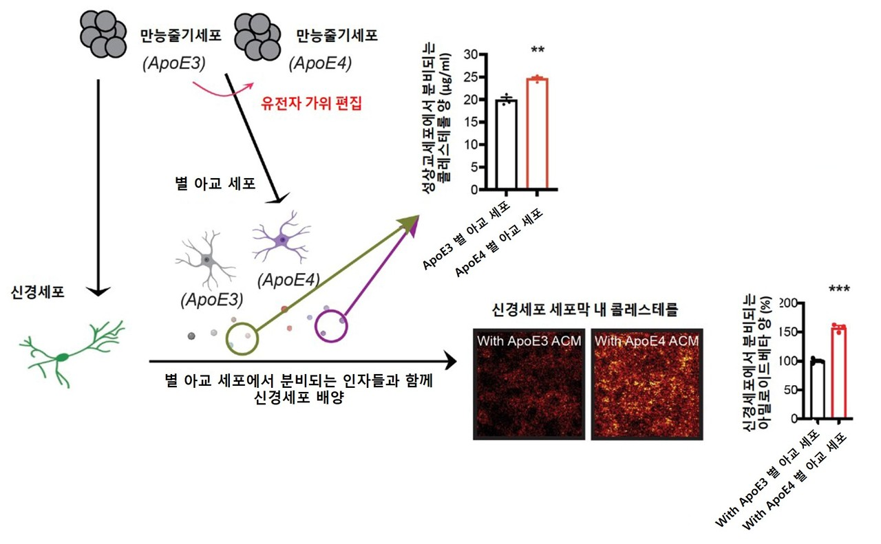 An illustration of the pathogenesis of Alzheimer's disease using human pluripotent stem cells.  Among the substances secreted by APOE4 star glial cells in the human body, an excessive amount of cholesterol is included.  It is transmitted to the surrounding neurons and promotes the formation of cell membrane lipid rafts.  Expansion of the lipid raft increases the cell membrane expression of amyloid proprotein and promotes the production of amyloid beta. [사진=DGIST]